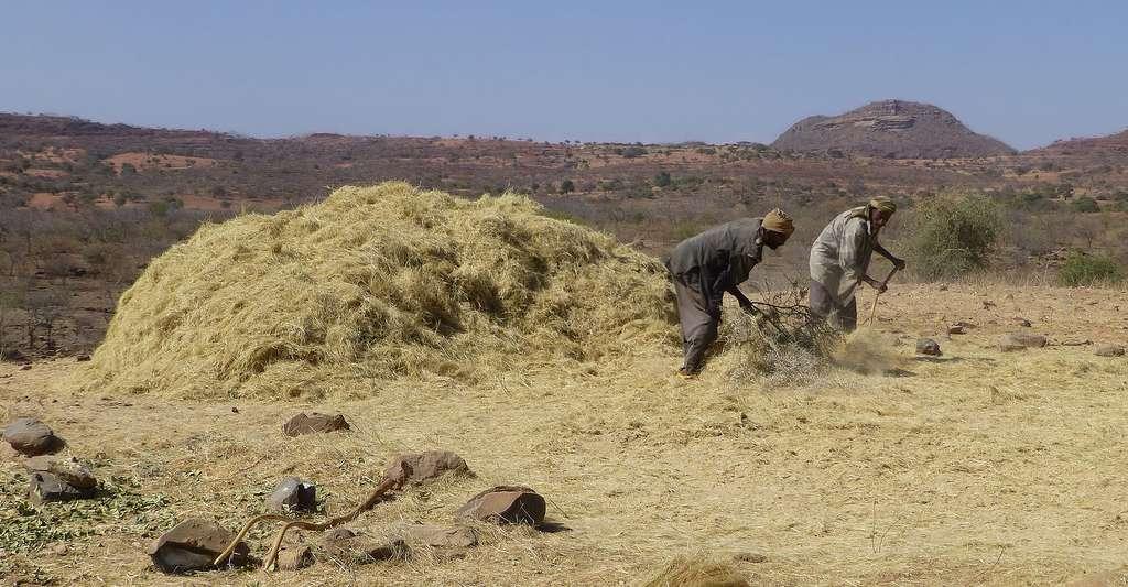 Éthiopie, région Tigré, battage du teff (Eragrostis tef). © Ji-Elle, Wikimedia commons, CC by-sa 3.0