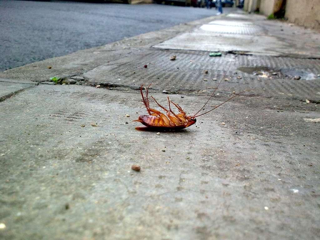 Si les pièges empoisonnés ont, un temps, été efficaces contre les cafards, ces insectes se sont rapidement remis à proliférer. Des mutants ont su déjouer les tactiques des humains. © Slamolo, Flickr, cc by nc 2.0