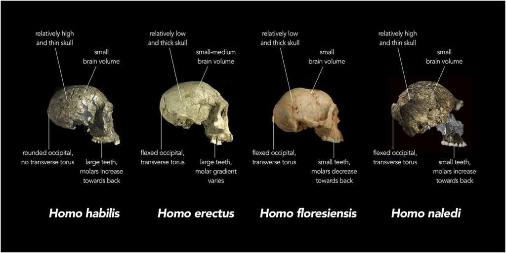 Réplique de crania (de gauche à droite) Homo habilis (KNM-ER 1813, Koobi Fora, Kenya ∼ 1,8 million d'années), un Homo erectus précoce (D2700, Dmanisi, Géorgie ∼ 1,8 million d'années) et Homo floresiensis (Liang Bua 1 , Indonésie ∼20 000 ans) sont comparés à des fragments réels de matériel crânien d'Homo naledi qui ont été superposés sur une reconstruction virtuelle (à l'extrême droite; notez que certaines des images du matériel H. naledi ont été inversées). Dans chaque cas, les crânes sont étiquetés avec les caractéristiques typiques de chaque espèce. Par exemple, alors que le volume cérébral adulte des humains modernes (Homo sapiens) est généralement compris entre 1000 et 1500 centimètres cubes (cc), H.habilis variait d'environ 510 à> 700 cc, H.erectus d'environ 550 à> 1100 cc, H. floresiensis environ 426 cc et H. naledi entre 466 et 560 cc. En outre, chez les humains modernes, l'os occipital (à l'arrière du crâne) est généralement de profil arrondi, tandis que chez certains humains primitifs tels que H.erectus, les parties supérieure et inférieure de l'occipital sont fortement inclinées l'une par rapport à l'autre ( c'est-à-dire «fléchi»), et il y a une forte crête osseuse qui traverse la région angulée (appelée tore transverse). © Chris Stringer, Natural History Museum, United Kingdom, Wikimedia commons, CC 4.0