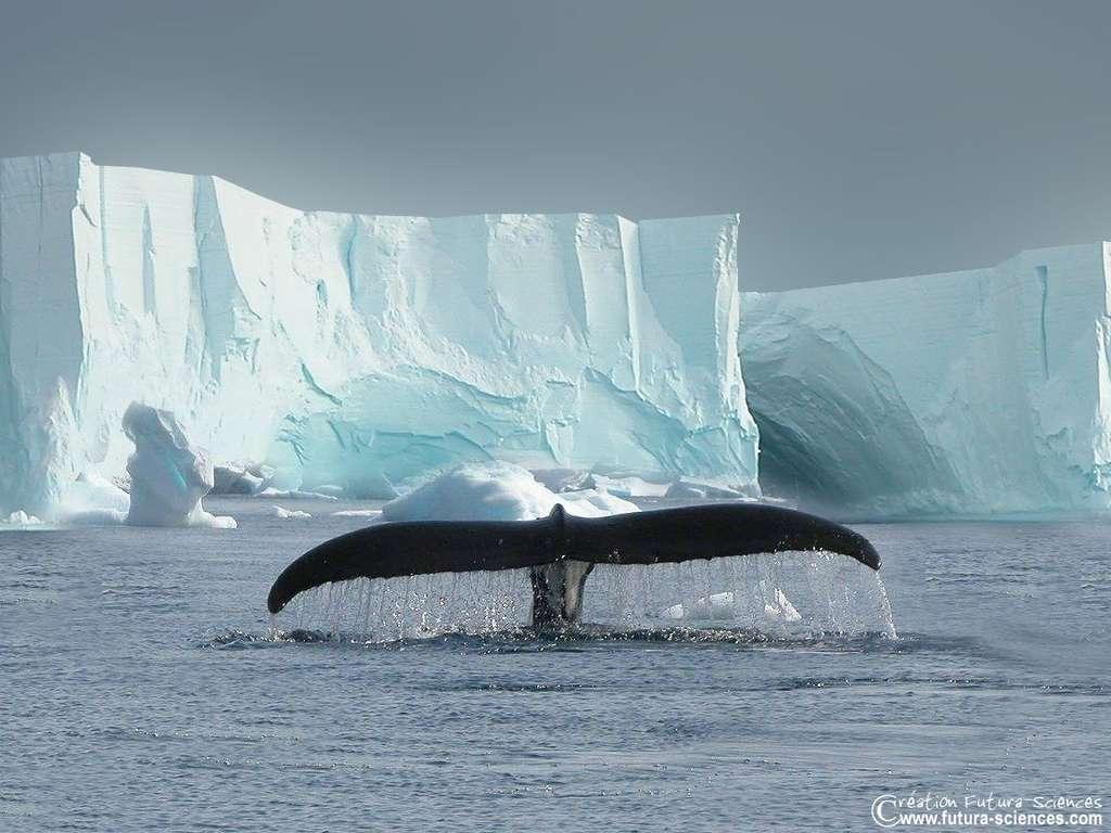 Baleine en migration