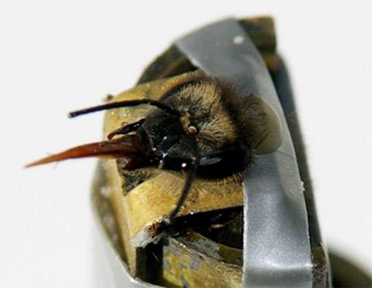 Réflexe d'extension du proboscis (langue) chez l'abeille face à une odeur apprise. Les abeilles sont entraînées à associer une odeur à une récompense alimentaire de solution sucrée et montrent ensuite la réponse appétitive d'extension de la langue à l'odeur apprise. En utilisant ce protocole, les abeilles ont appris à répondre à deux odeurs récompensées quand elles étaient présentées seules et à supprimer leur réponse quand les odeurs étaient présentées simultanément, montrant ainsi une capacité de discrimination dite « non linéaire ». © Martin Giurfa