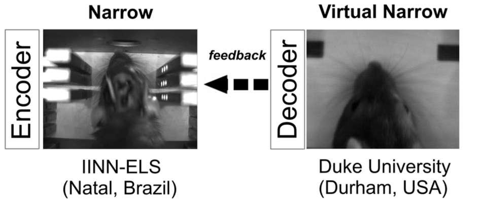 Le rat de gauche, au Brésil, a envoyé des informations de son cortex cérébral à travers une machine, pour guider le rat de droite, aux États-Unis, à 6.500 km de distance. © Miguel Pais-vieira et al, Scientific Reports