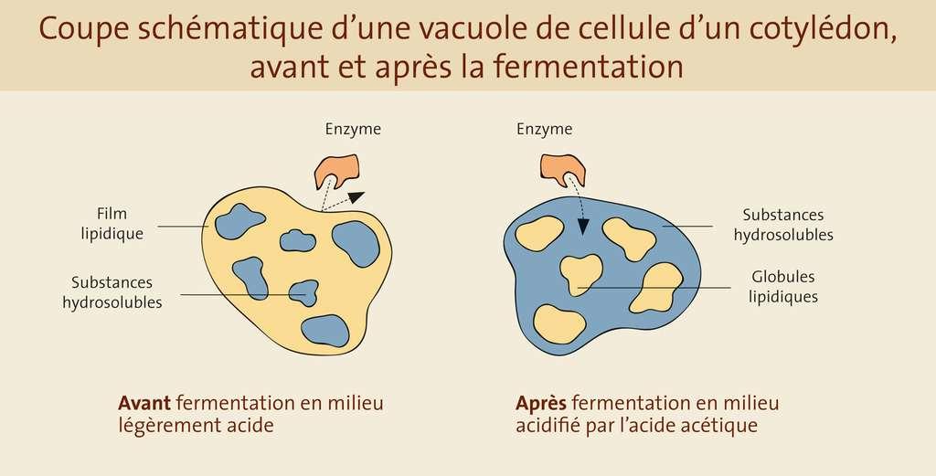 Coupe schématique d'une vacuole de cellule d'un cotylédon, avant et après la fermentation. © Gwendolin Butter