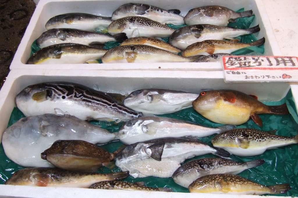 Les fugus hybrides se multiplient au nord-est du Japon. © tokyofoodcast.com, Flickr