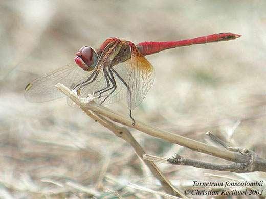 Sympètrum à nervures rouges Sympetrum fonscolombii - Tous droits réservés