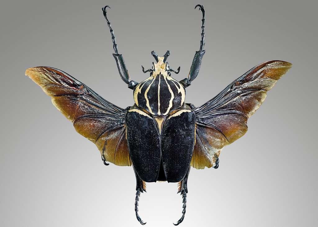 Golitahus goliathus, le doux géant