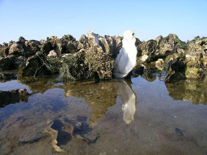 Les huîtres peuvent entendre le bruit des marées. Les marées hautes sont synonymes de nourriture pour ces mollusques. © Ecomare, Oscar Bos, Wikimedia Commons