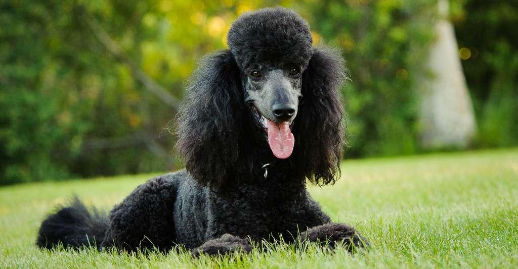 Le caniche arriverait en deuxième position du classement des chiens les plus intelligents au monde. © everydoghasastory, Shutterstock
