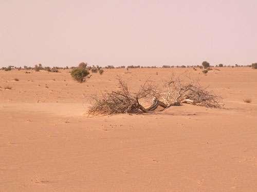 Forêt d' Acacia radiana désséchés au nord de l'erg Akchar en Mauritanie (décembre 2001). Cet erg est constitué de cordons longitudinaux de sable rubéfiés.