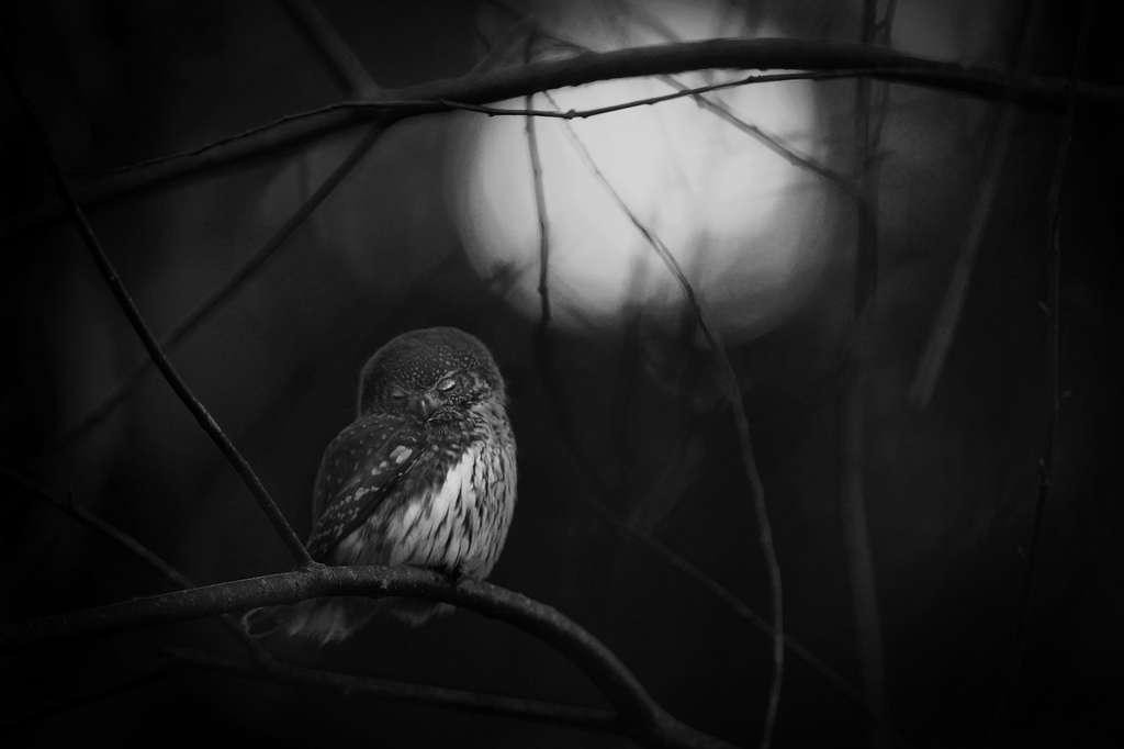Le photographe a intitulé cette scène « Requiem pour un hibou ». Tristesse pour ce hibou pygmée qui a perdu son compagnon. © Mats Andersson, 2016 Wildlife Photographer of the Year