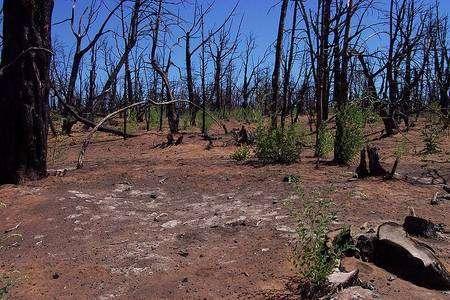 Première étape de la régénération d'une forêt après un incendie. © Dsw4, domaine public