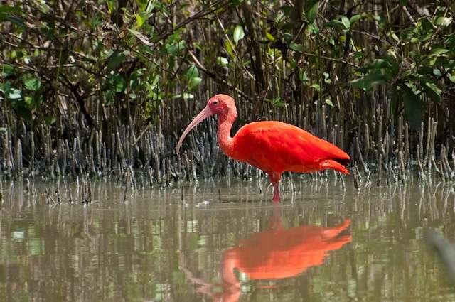Ibis rouge dans une mangrove. © Claudio Timm, CC BY-NC-SA 2.0