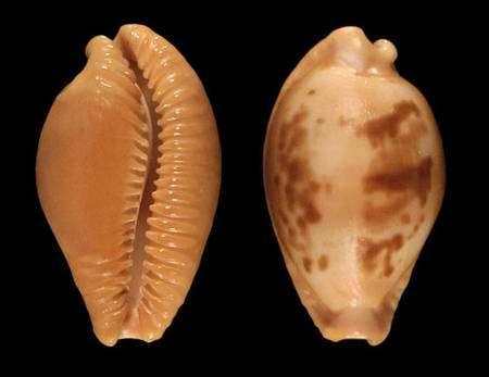 Fig. 6 : Porcelaine Pustularia surinamensis. © Jean-Pierre Pointier - Tous droits réservés