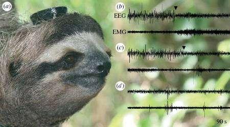 L'un des paresseux équipé de son boîtier. A gauche, des enregistrements sur 90 secondes. En b, les EEG et EMG à la fin d'une phase de sommeil avec mouvements oculaires (REM, rapid eye movement). Au niveau de la flèche noire, l'animal se réveille. En c, l'EEG au passage d'un sommeil non-REM à un sommeil REM. En d, une phase stable de sommeil profond, non-REM. © Niels C. Rattenborg et al.