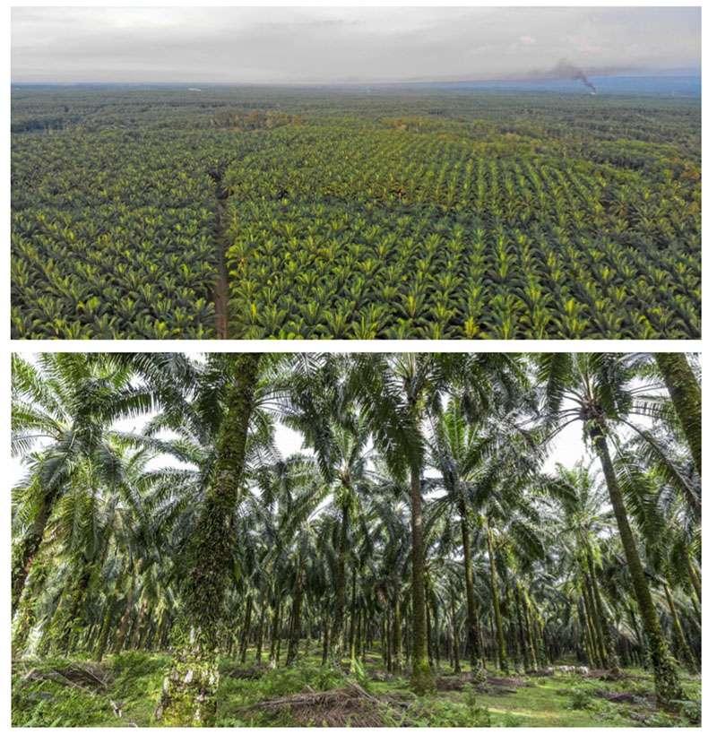 La forêt tropicale devient à perte de vue des champs de palmiers à huile. © Maxime Aliaga, tous droits réservés