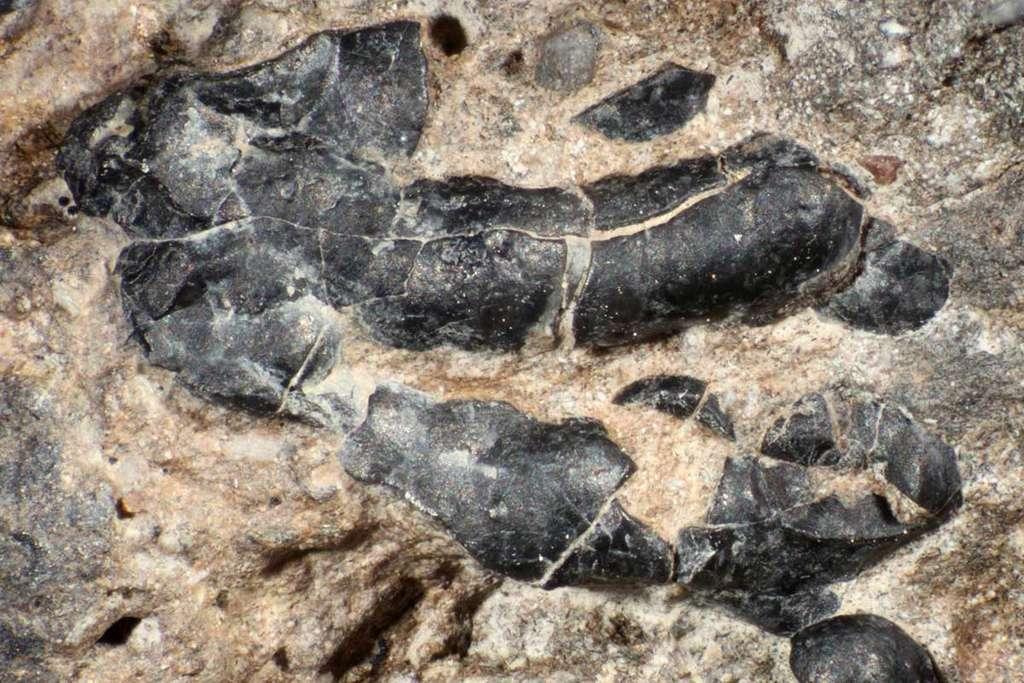 Zoom sur un coprolithe de dinosaure herbivore. Les restes noirs, longs d'environ 1 cm, sont des fossiles de crustacés. © Karen Chin, CU Boulder