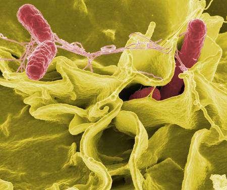 Salmonella typhimurium. © NIH, Wikimedia Commons, DP