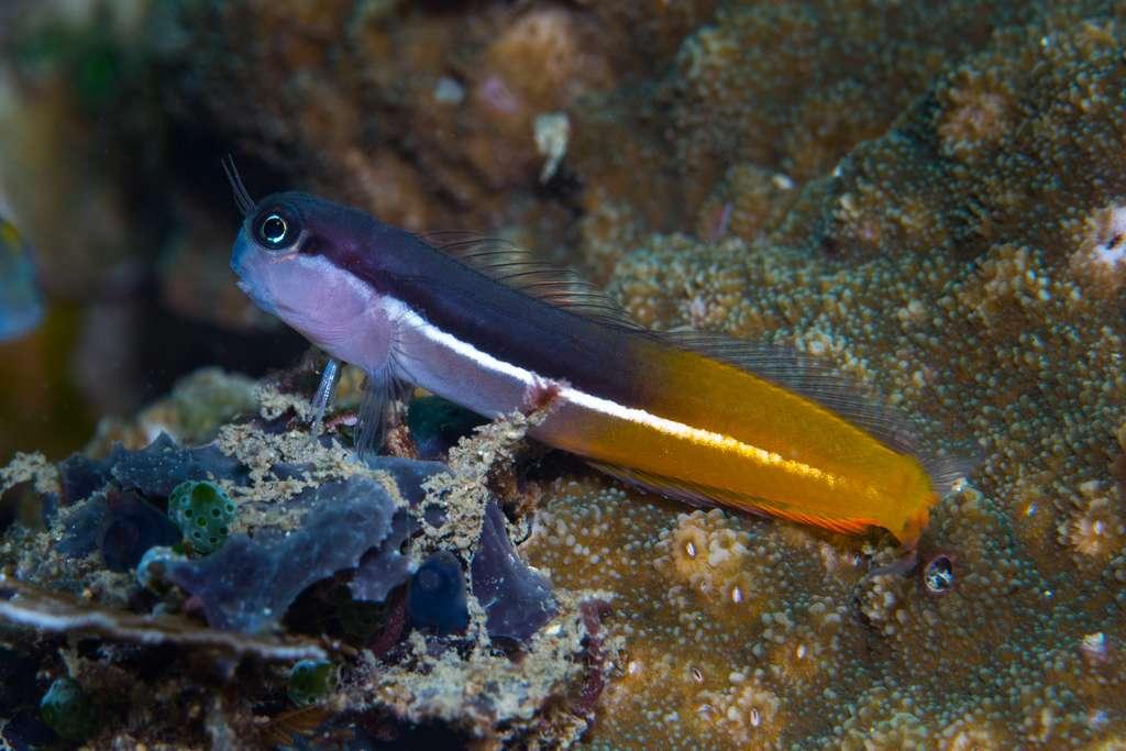 Ecsenius springeri, un petit poisson benthique découvert en Papouasie-Nouvelle-Guinée aux couleurs chatoyantes. © 2019 Mark Erdmann