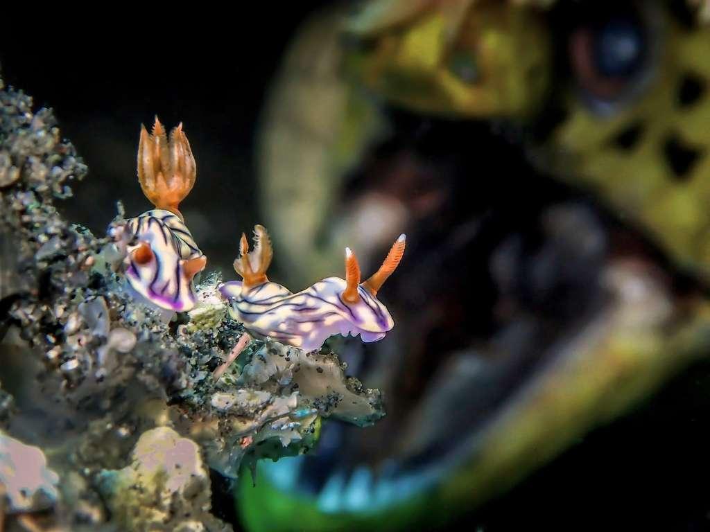 Un puis deux nudibranches sont apparus. À l'arrière-plan, qui s'approche : une murène ouvre grand sa gueule. Le photographe-plongeur a patienté plusieurs minutes pour faire cette photo saisissante. © Man BD, UPY 2018