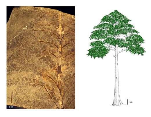 Fig. 21 à gauche : Archaeopteris. Rameaux feuillés. A droite Fig. 22 :Archaeopteris