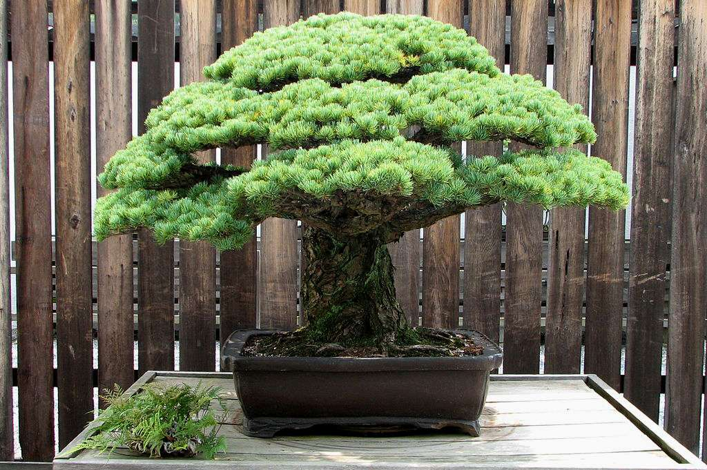 Pinus parviflora. © Ragesoss, CC by-nc 3.0