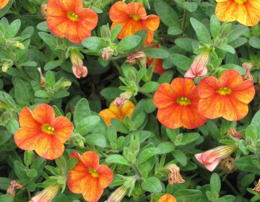 Osez le Calibrachoa Mini Famous® orange. © S. Chaillot