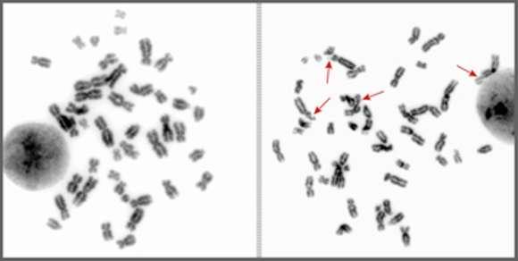 Sur ces images, on peut voir que les chromosomes de gauche, sans cassure, sont parfaitement symétriques. À droite, en revanche, certains chromosomes, marqués par les flèches rouges, ont été victimes de cassures, ce qui a causé des réarrangements. © Anne Helmrich