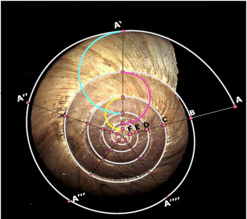 La coquille et la suite de Fibonacci. © DR