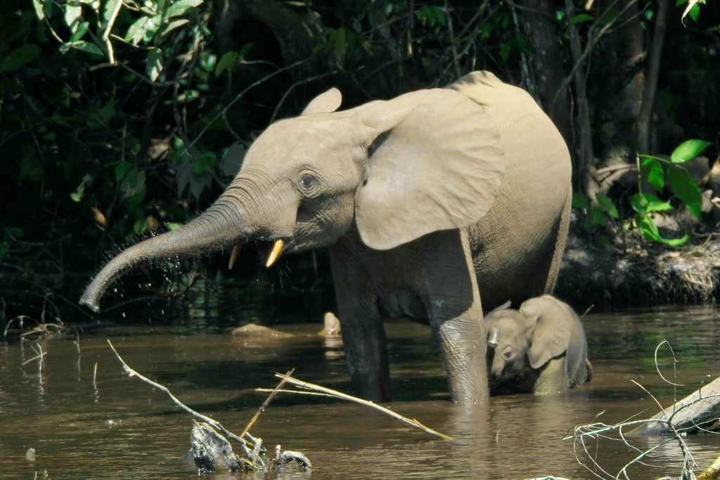 Les éléphants d'Afrique (genre Loxodonta), opposés aux éléphants d'Asie (genre Elephas) par leur taille au garrot et la taille de leurs oreilles, sont eux-mêmes scindés en deux espèces : Loxodonta africana et Loxodonta cyclotis, aussi appelés respectivement éléphants de savane et éléphants de forêt. © Thomas Breuer, cc by 2.5