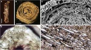 Cliquer pour agrandir. Les similarités entre un rouleau de marchantiales et Prototaxites. En A et B, un rouleau partiellement décomposé. En C et D, aperçus de coupes transversales montrant les anneaux concentriques et les tubes de rhizoïdes, hyphes et filaments dont l'apparence est proche des tubes d'une coupe transversale de Prototaxites (en E). © Graham et al.