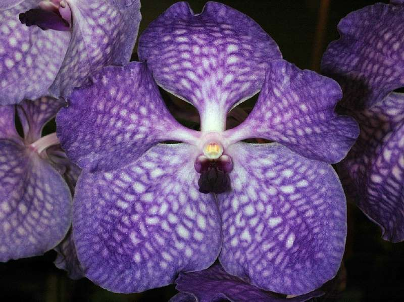 Orchidée Vanda Sansai Blue