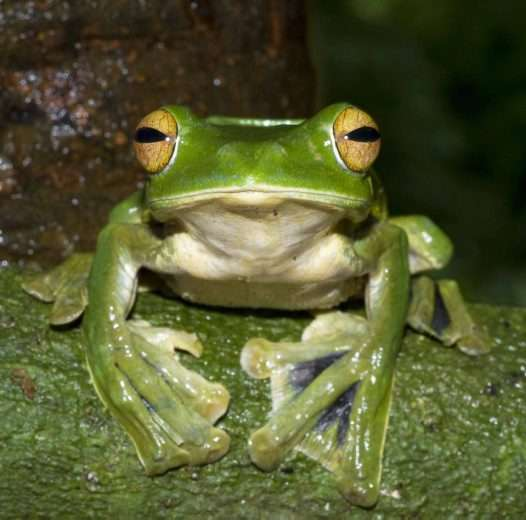 Voici Hélène, la grenouille arboricole, surnommée « la grenouille volante ». © Australian Museum