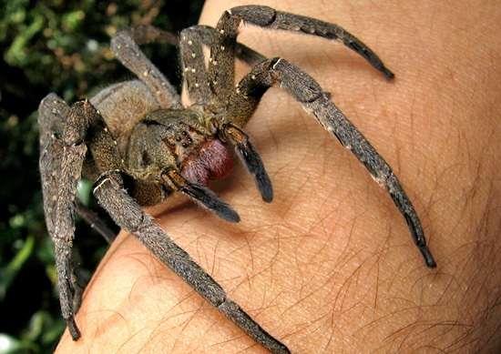 L'araignée banane est l'une des plus venimeuses au monde. © Joao P. Burini, Wikipédia, GNU 1.2