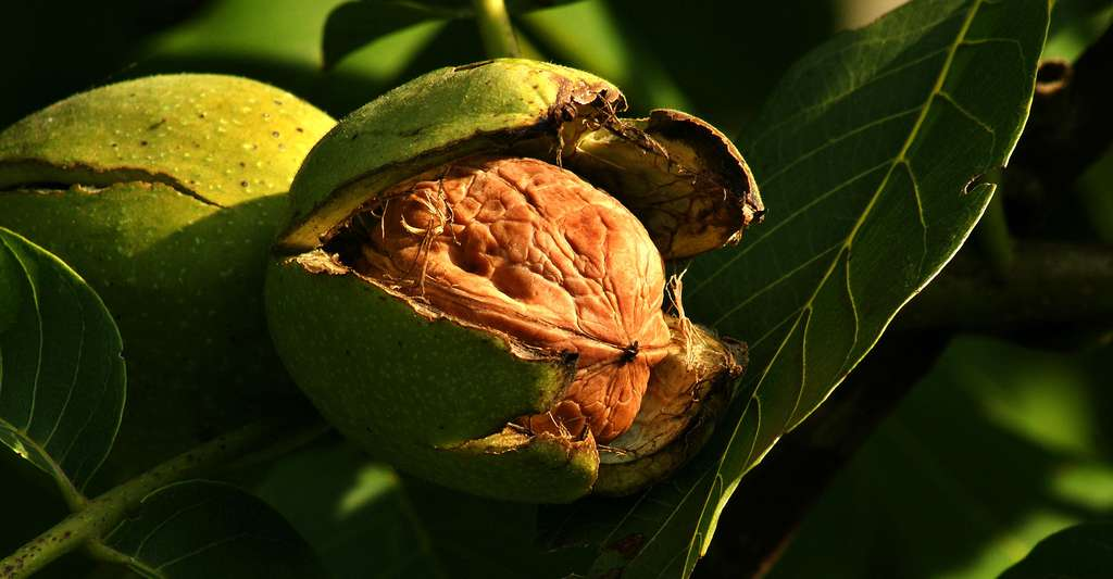 Le noyer : plantation, feuilles et fruits. Ici, une noix du noyer commun ou noyer persan (Juglans regia). © Böhringer Friedrich, Wikimedia Commons, CC by-sa 2.5