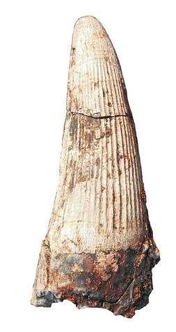 Dent de Siamosaurus, spinosaure du Crétacé inférieur de Thaïlande (environ 120 millions d'années) mesurant 60 mm de haut. Crédit : CNRS-Eric Buffetaut