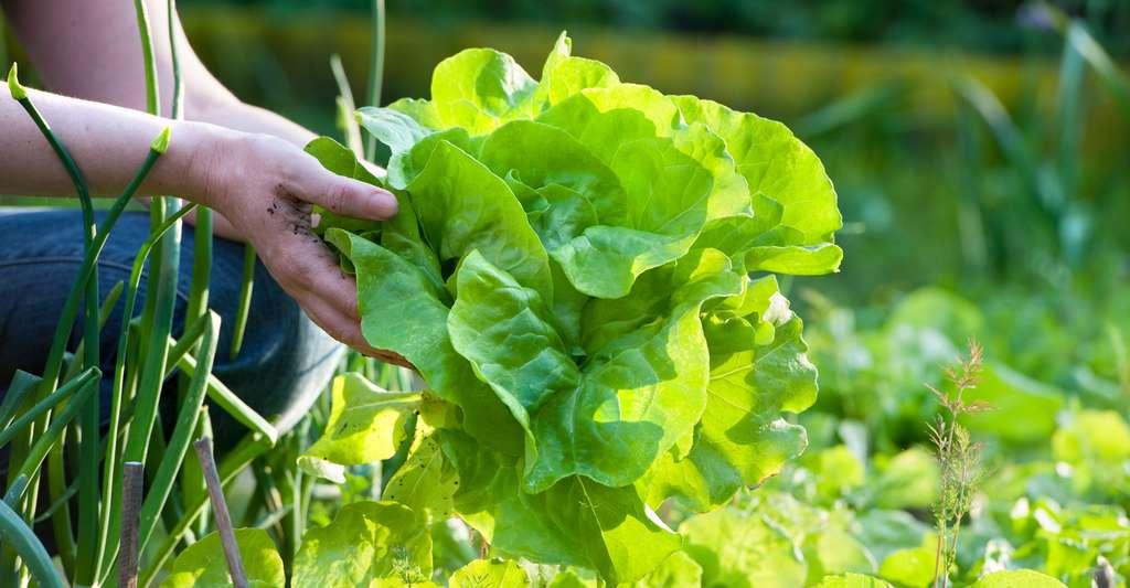 La laitue est une salade craquante et douce. © Alexander Raths, Shutterstock