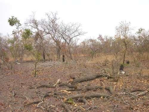 Les activités anthropiques exercent une sélection sur la composition floristique en favorisant les espèces 'anthropophiles' (Sokouna, Mali - 2005) © Photo Philippe Birnbaum - Tous droits de reproduction réservés