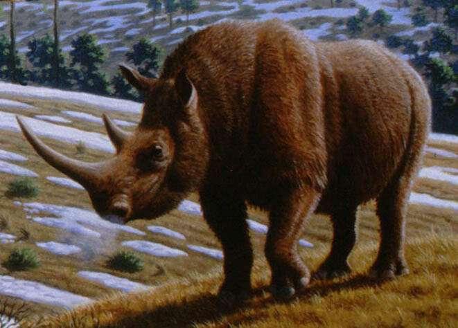 Le rhinocéros laineux (Coelodonta antiquitatis) sillonnait les terres de l'Eurasie, avant de disparaître il y a environ 15 millions d'années. © Mauricio Antón, Plos Biology