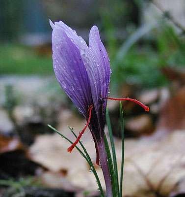 Fleur de safran. Le crocus sativus permet la culture du safran. © EAT DA POO POO, CC by-sa 3.0