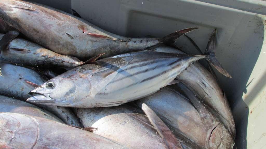 La bonite à ventre rayé ou thon listao se distingue par ses bandes sombres sur le ventre et sa taille plus petite que celle des autre thons. © Jo Langeneck, Wikipedia