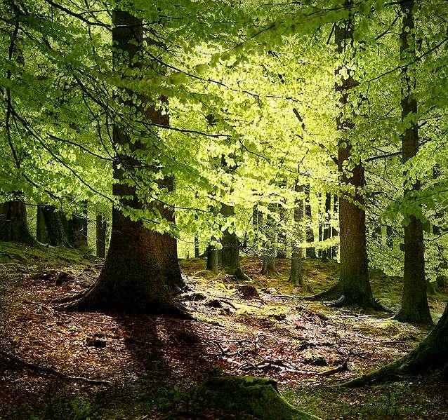 Danemark : Grib forest