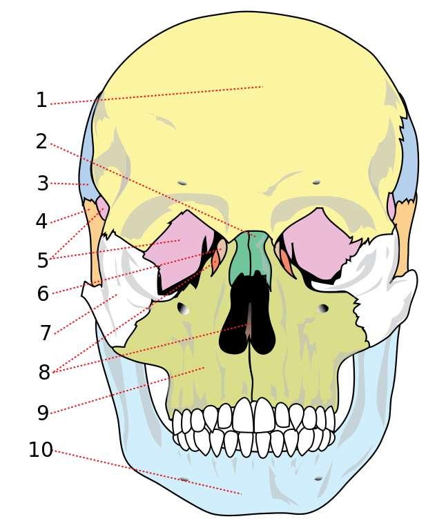Les os du crâne, avec l'os frontal (1), l'os nasal (2), l'os pariétal (3), l'os temporal (4), l'os sphénoïde (5), l'os lacrymal (6), l'os zygomatique (7), l'os éthmoïde (haut), vomer (bas) (8), le maxillaire (9) et la mandibule (10). © ladyofHats, Mariana Ruiz Villarreal, Wikimedia Commons, DP