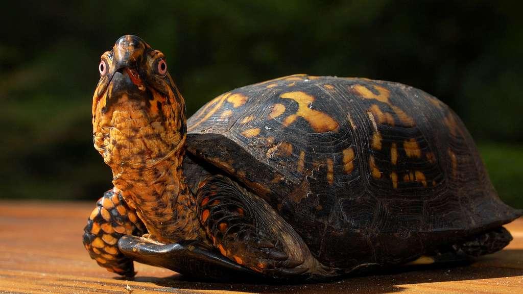 La tortue boîte fait un tabac