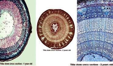 1 : Racine tilleul 1 an. 2 : Racine tilleul 2 ans. 3 : Racine tilleul 3 ans. © DR