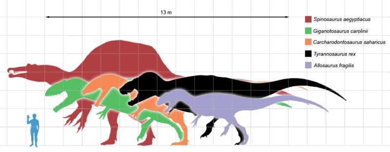 Comparaison de tailles entre des dinosaures carnivores, basée sur les illustrations faites par Scott Hartman (Tyrannosaurus, Allosaurus), Ville Sinkkonen (Carcharodontosaurus), Gregory Paul (Giganotosaurus), ArthurWeasley et Steveoc 86 (Spinosaurus). © Matthew Martyniuk GNU Free Documentation License version 1.2