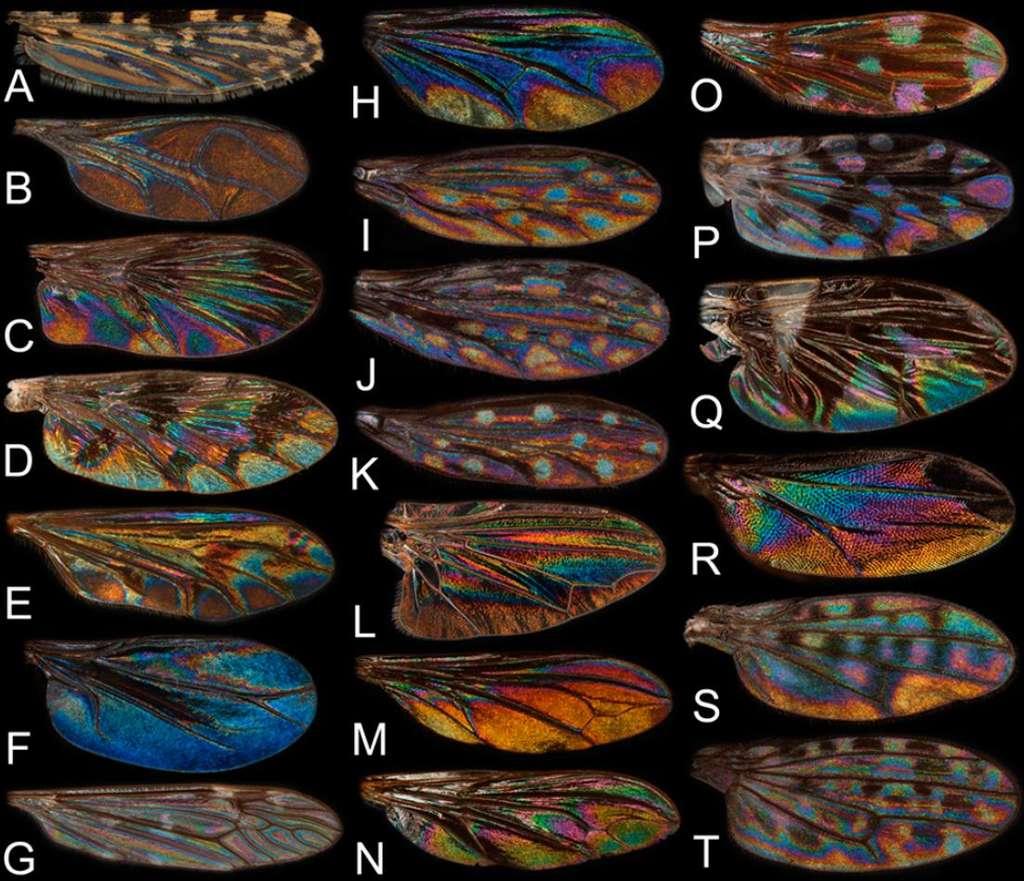 En fonction de l'espèce d'Insecte, les couleurs observées sur les ailes transparentes diffèrent. © PNAS