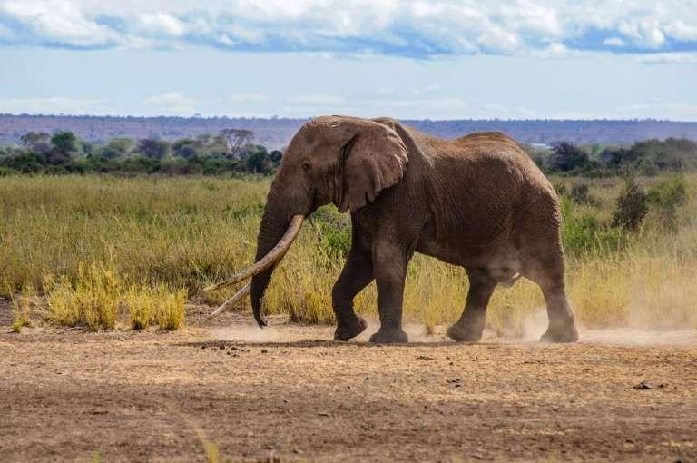 Tim, l'un des plus grands éléphants d'Afrique, dont les défenses touchaient le sol, est mort. Photo prise le 10 septembre 2016. © Paul Obuna, WildlifeDirect, AFP, Archives