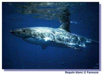 Les requins peuvent respirer sous l'eau grâce à leurs branchies. © Fanouze
