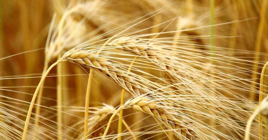 Le blé est une poacée dont les inflorescences s'attachent directement sur la tige, formant l'épi. © benedikt7402, Pixabay, DP