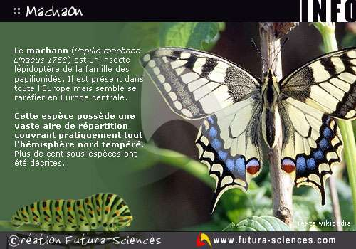 "Papillon ""Machaon"""